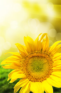 Abstract background with sunflowers over field and sunlight